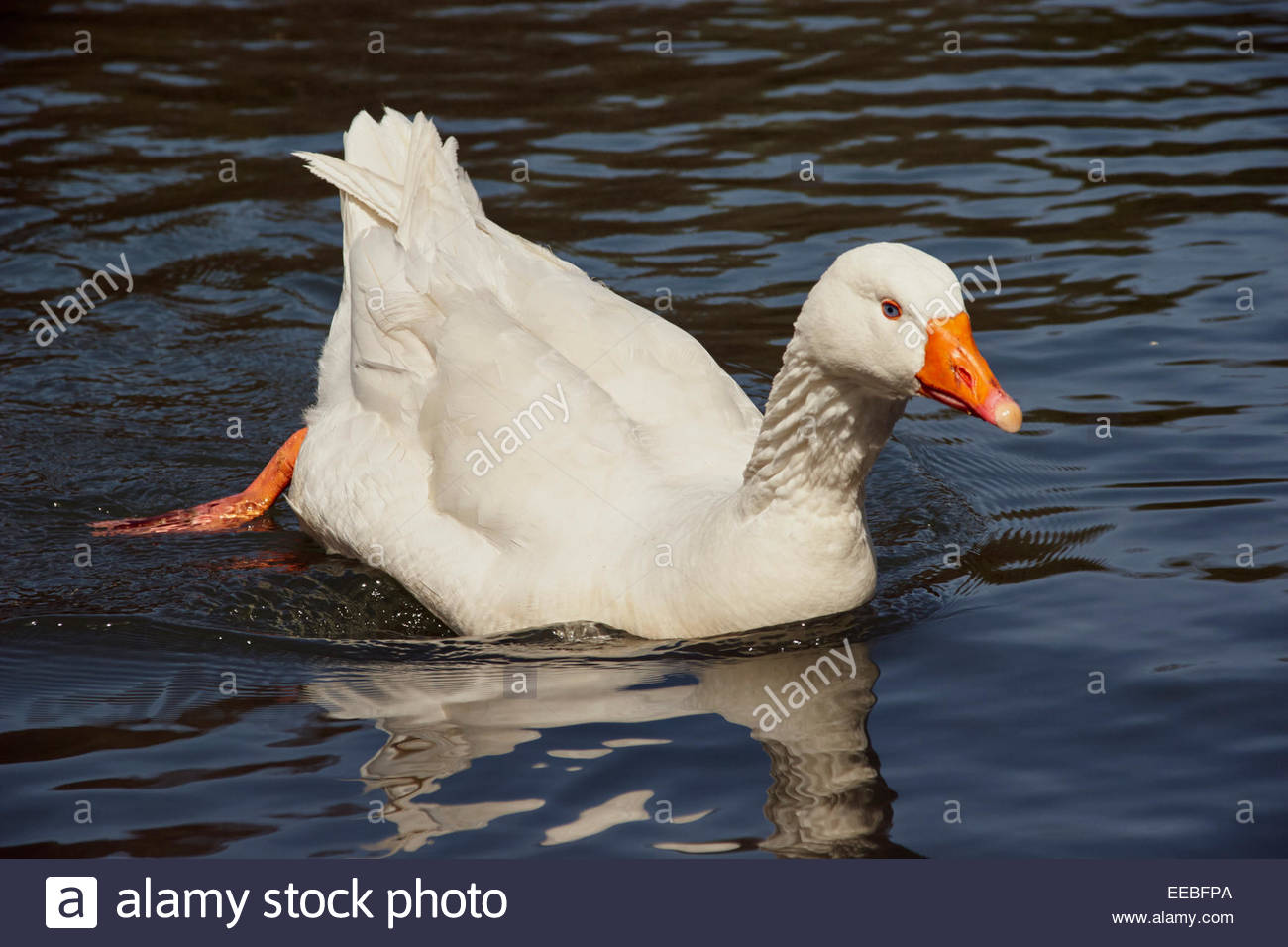 large white common domesticated aylesbury duck on the water with one leg out of water and a bright orange bill - Stock Image