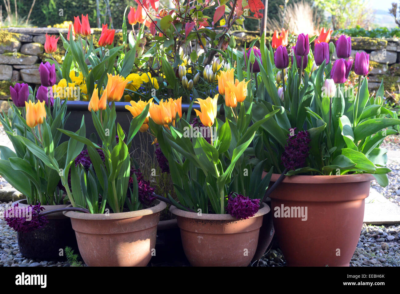 Spring Flowers In Pots On A Patio Stock Photo 77701643 Alamy