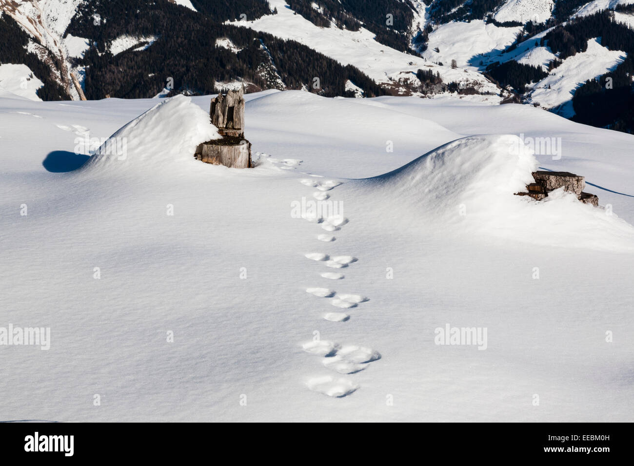 Tracks of a Mountain Hare (Lepus timidus) in snow in the Austrian Alps. Austria Europe. - Stock Image