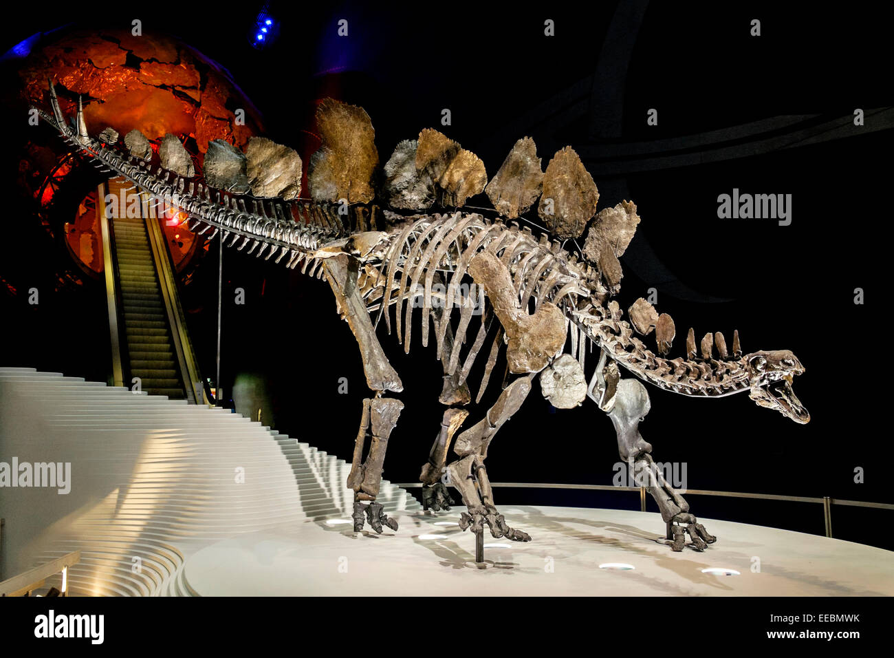 Sophie the Stegosaurus dinosaur fossil skeleton at The Natural History Museum London - Stock Image