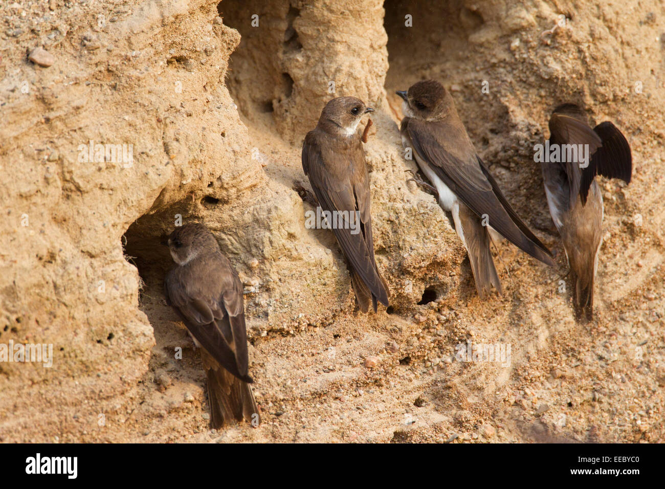 European sand martins / bank swallows (Riparia riparia) at nest hole in breeding colony on riverbank - Stock Image