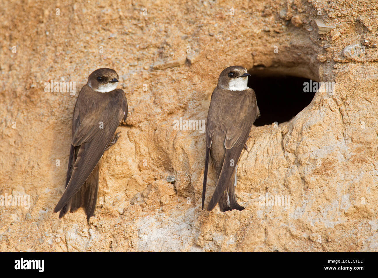 Two European sand martins / bank swallows (Riparia riparia) at nest hole in breeding colony on riverbank - Stock Image