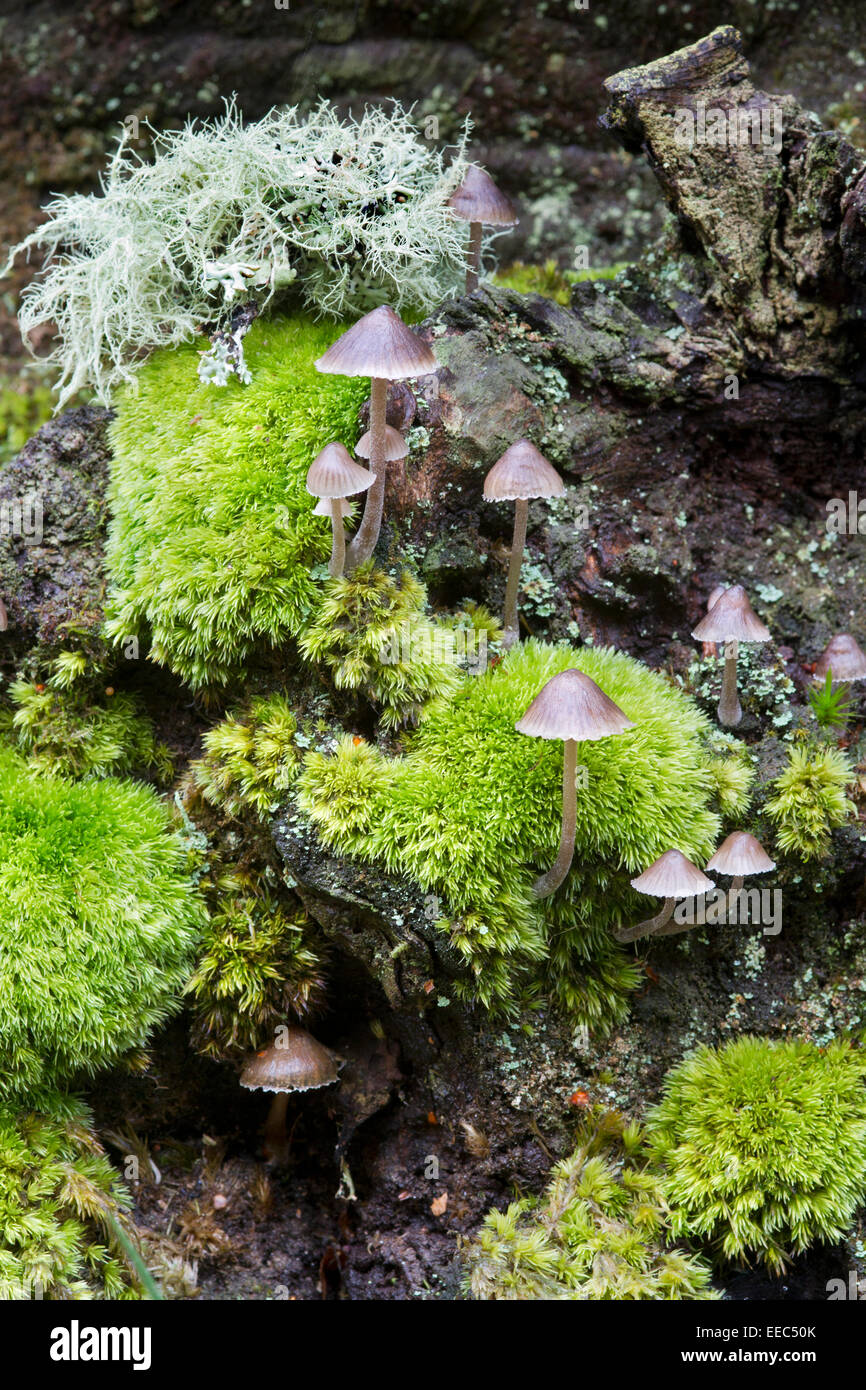 Cluster of mushrooms on lichen and moss covered wood - Stock Image
