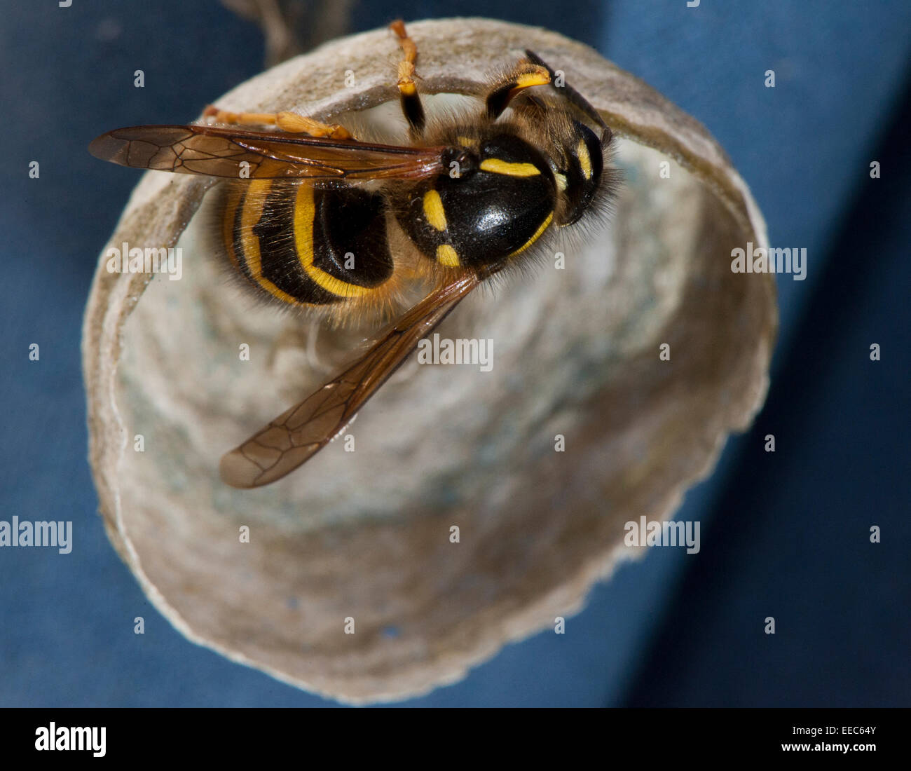 Common Wasp, building nest to lay eggs in. Vespula vulgaris. - Stock Image