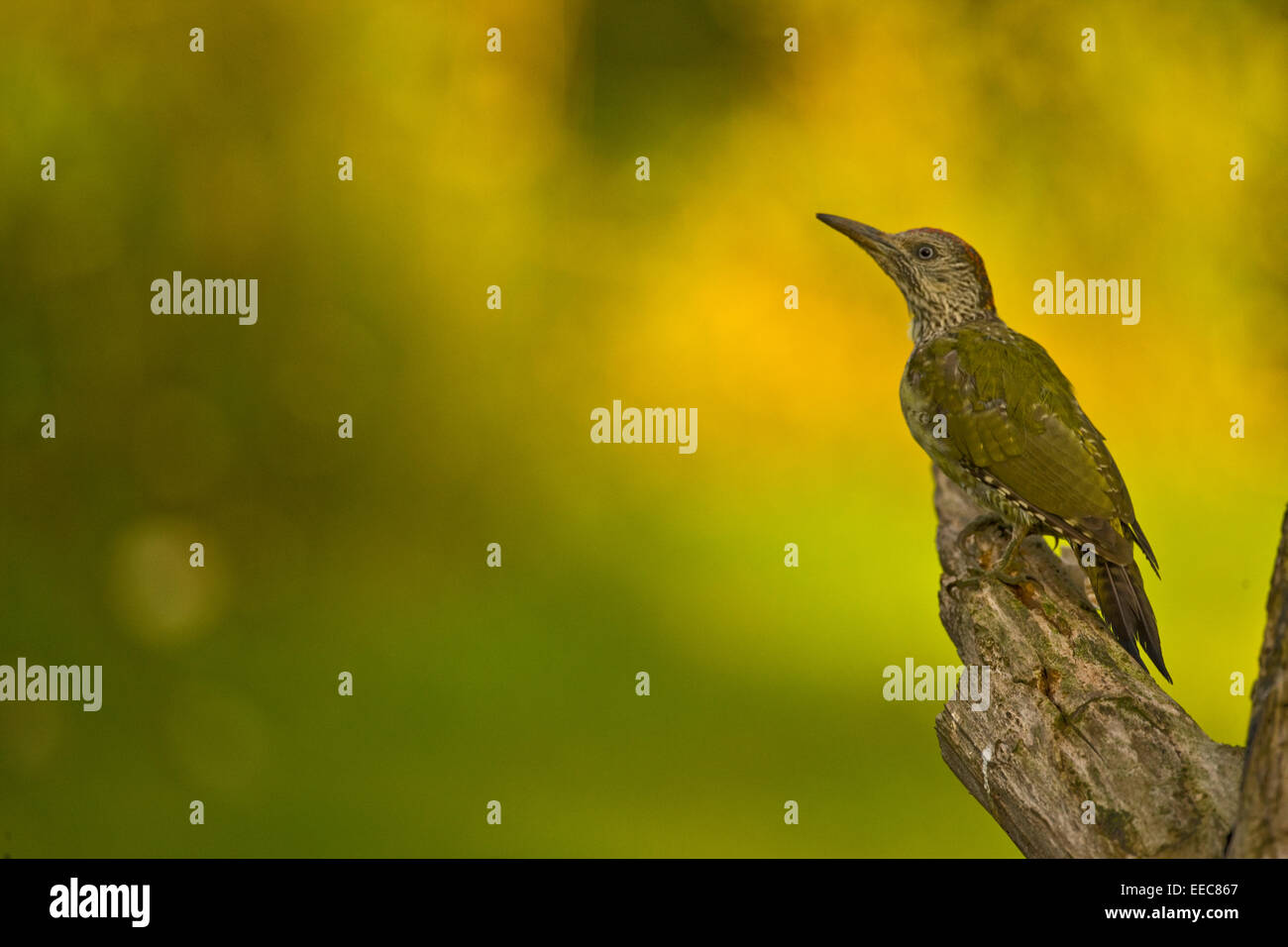 Green woodpecker Juvenille - Stock Image