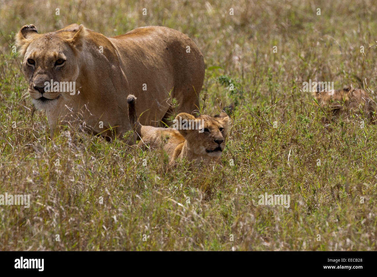 Lions Female pride with cub Stock Photo