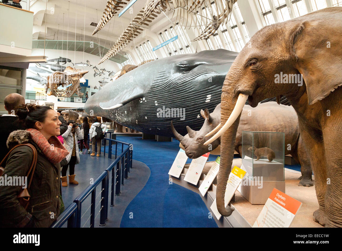 people looking at the animals in the large mammal hall, Natural History Museum, London UK - Stock Image