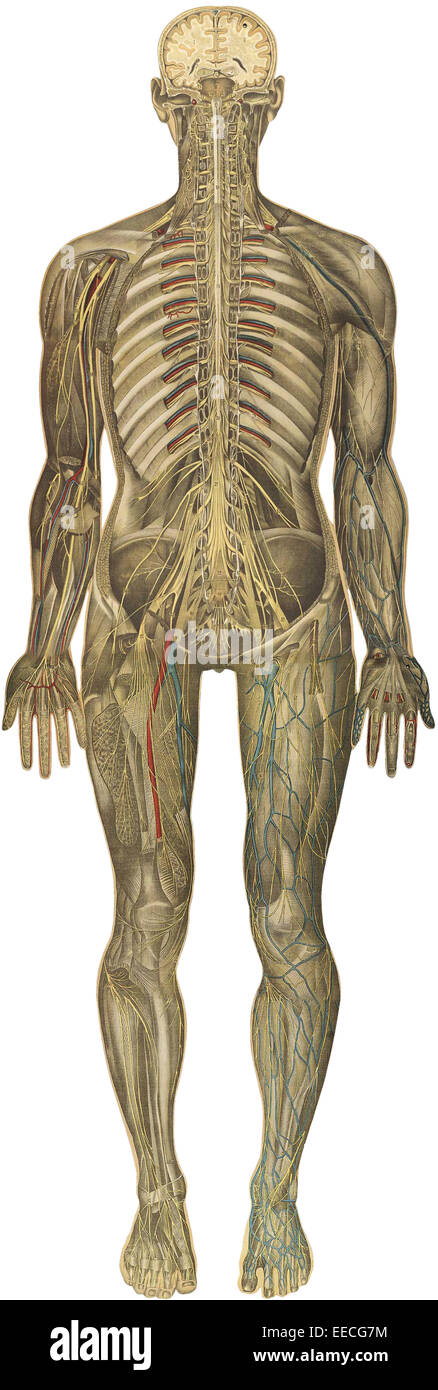 The human body with superimposed colored plates, by Julien Bougle, circa 1899. - Stock Image