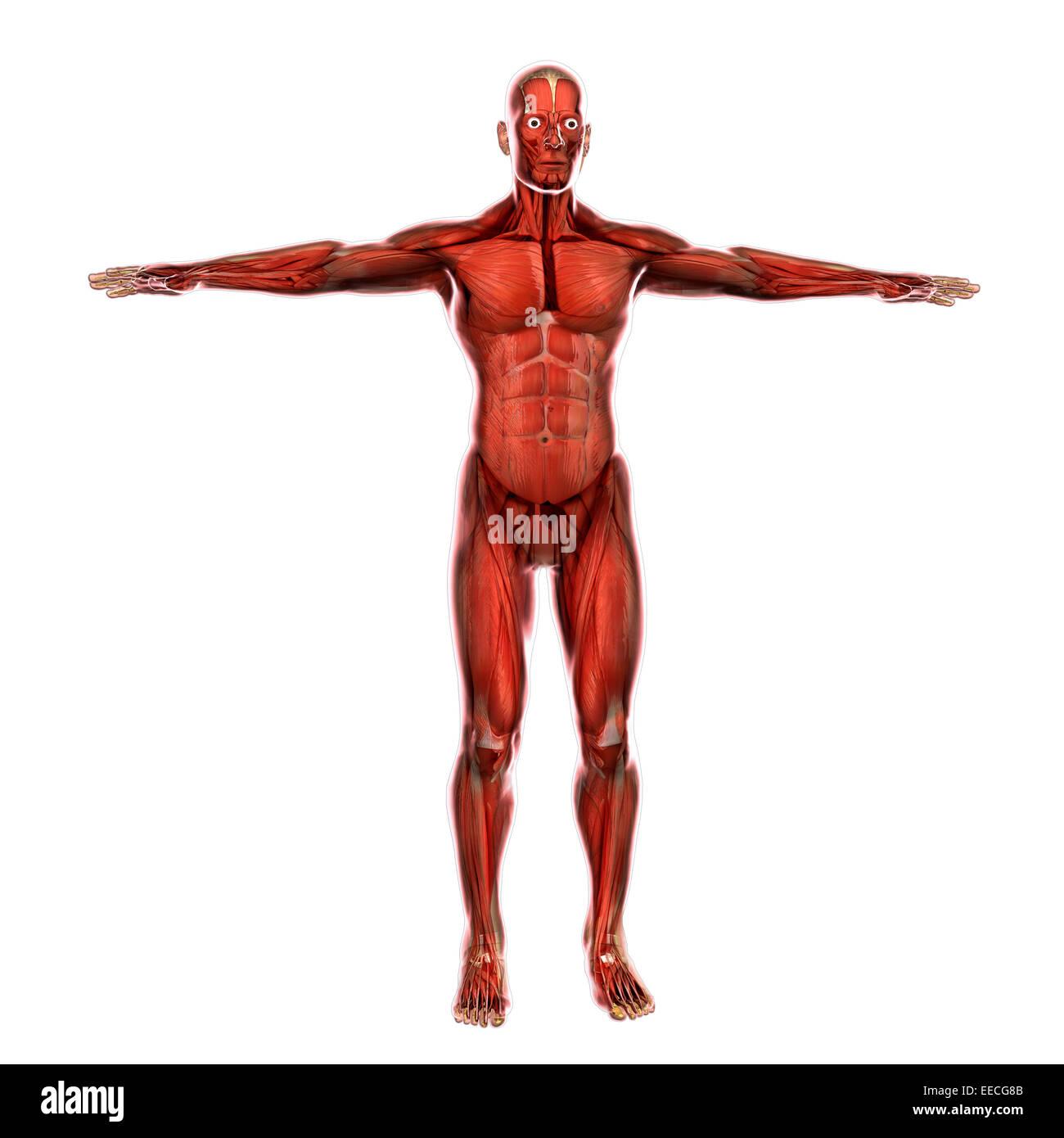 Human Muscular System Stock Photos Human Muscular System Stock