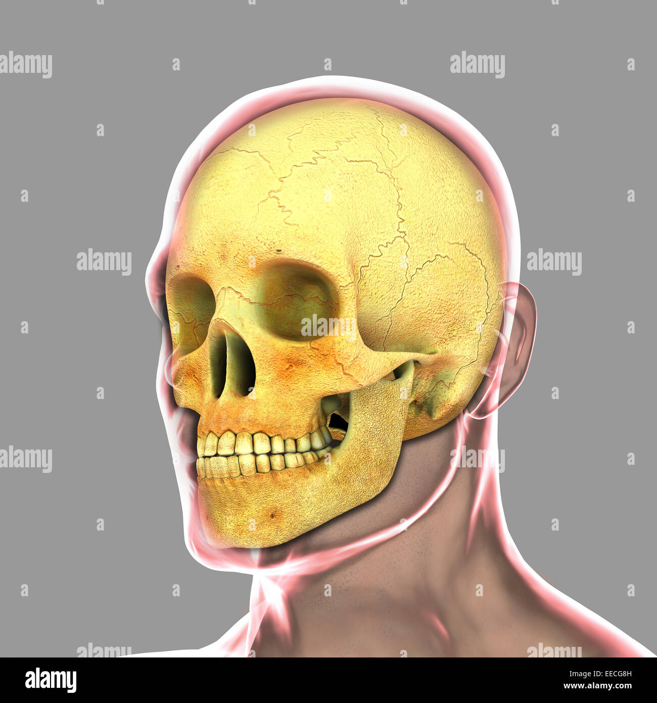 Human skull. - Stock Image