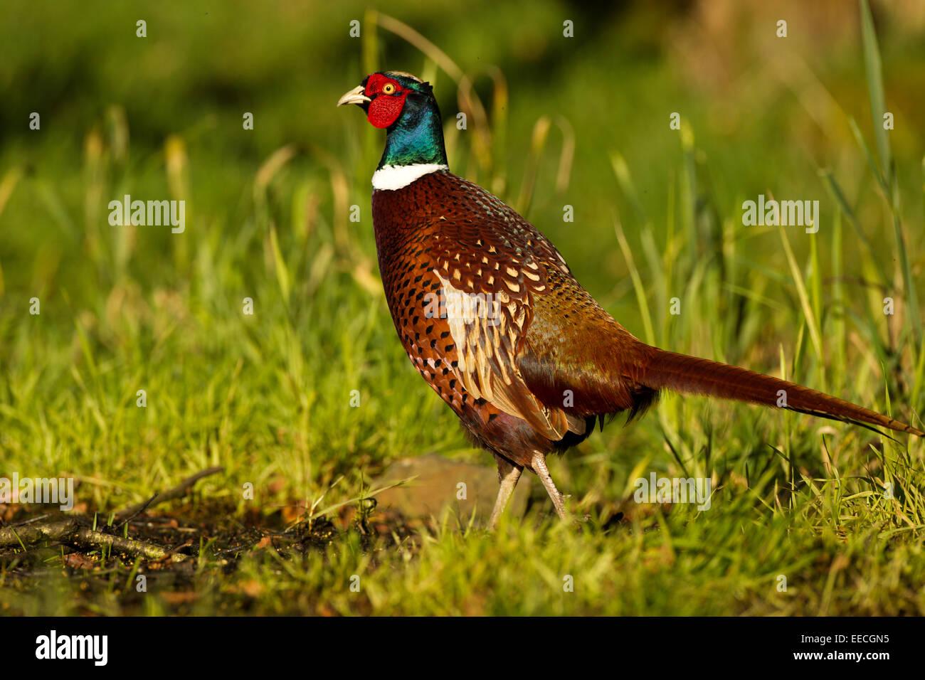 Pheasant Male - Stock Image