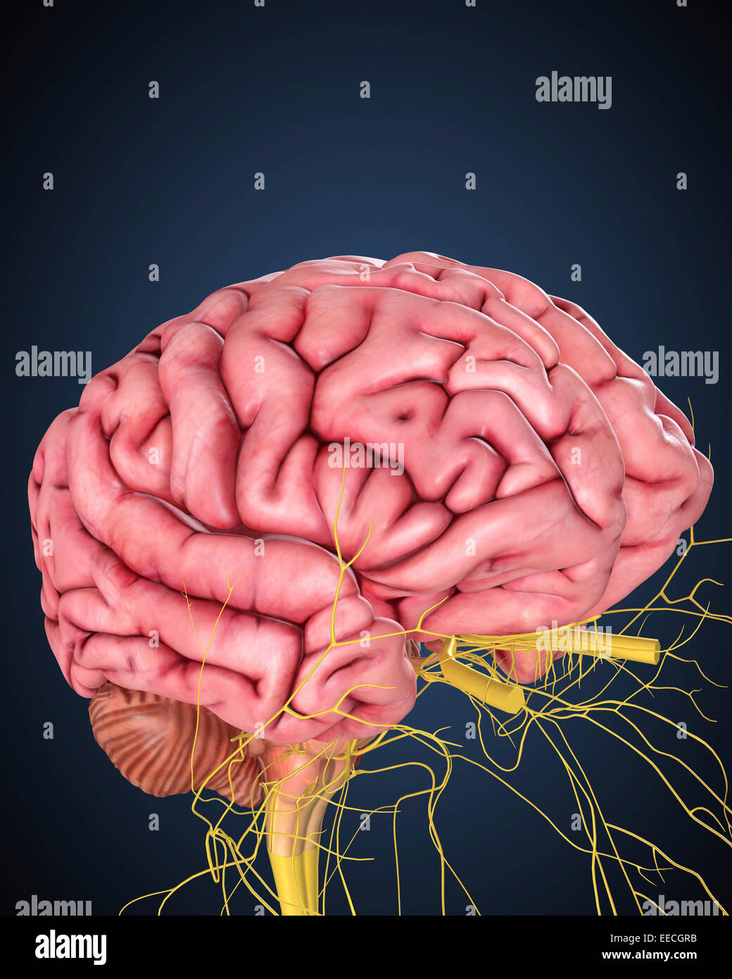 Human brain with nerves. - Stock Image