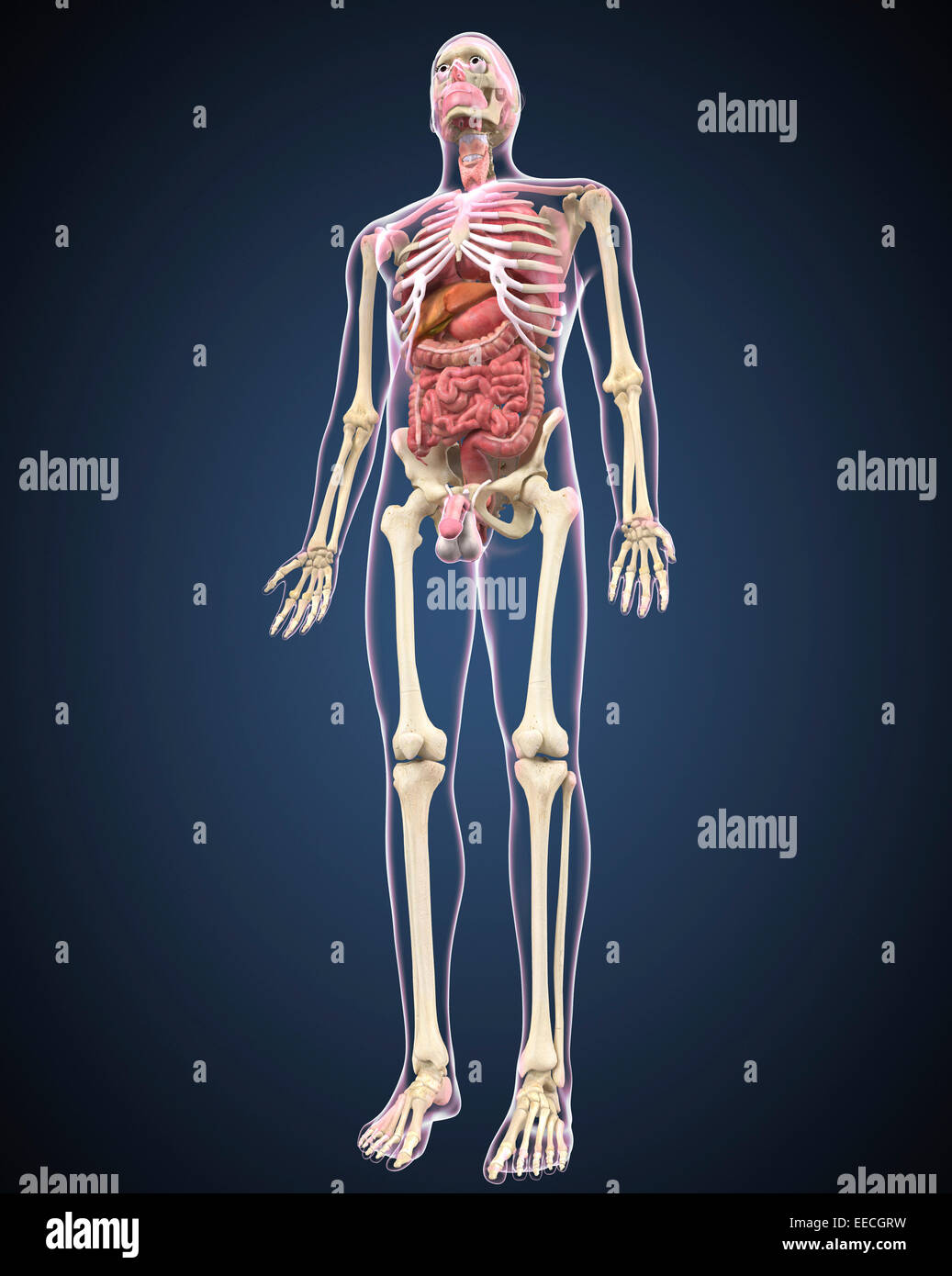 Full length view of male human body with organs. - Stock Image