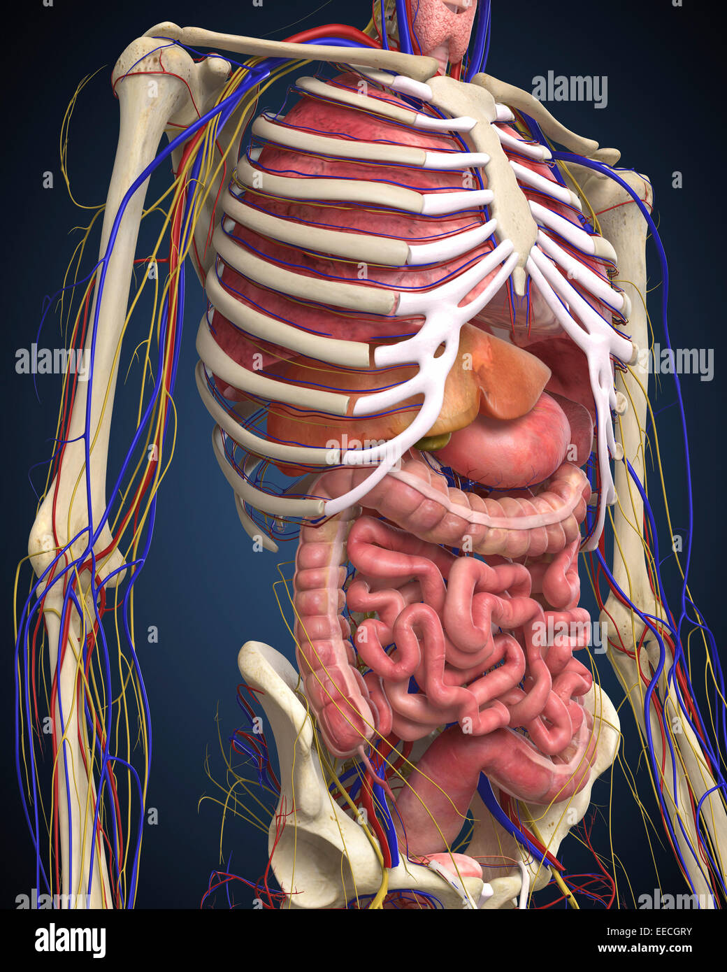 Internal Organs Stock Photos Internal Organs Stock Images Alamy