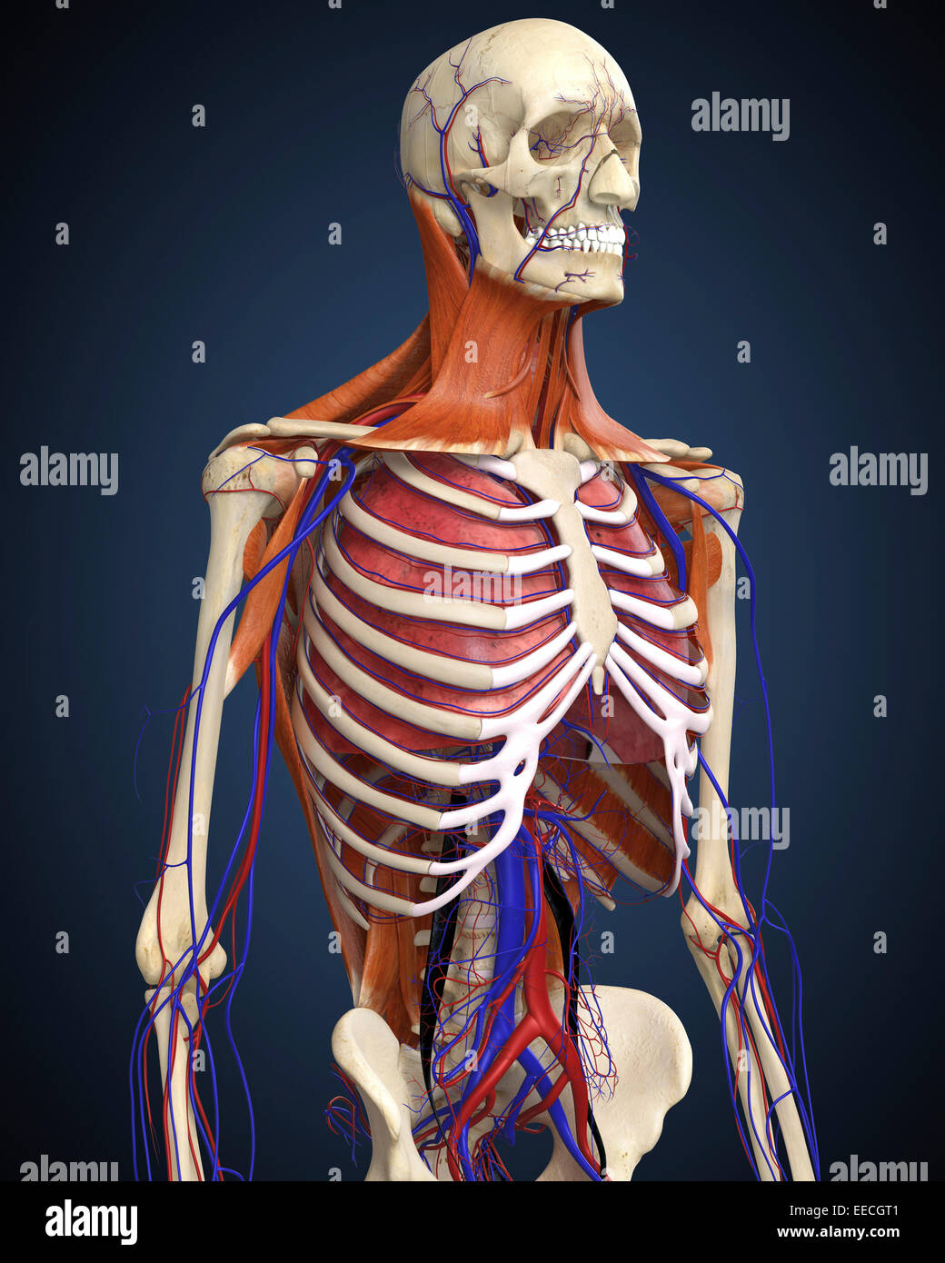 Human upper body showing bones lungs and circulatory system stock human upper body showing bones lungs and circulatory system ccuart Choice Image