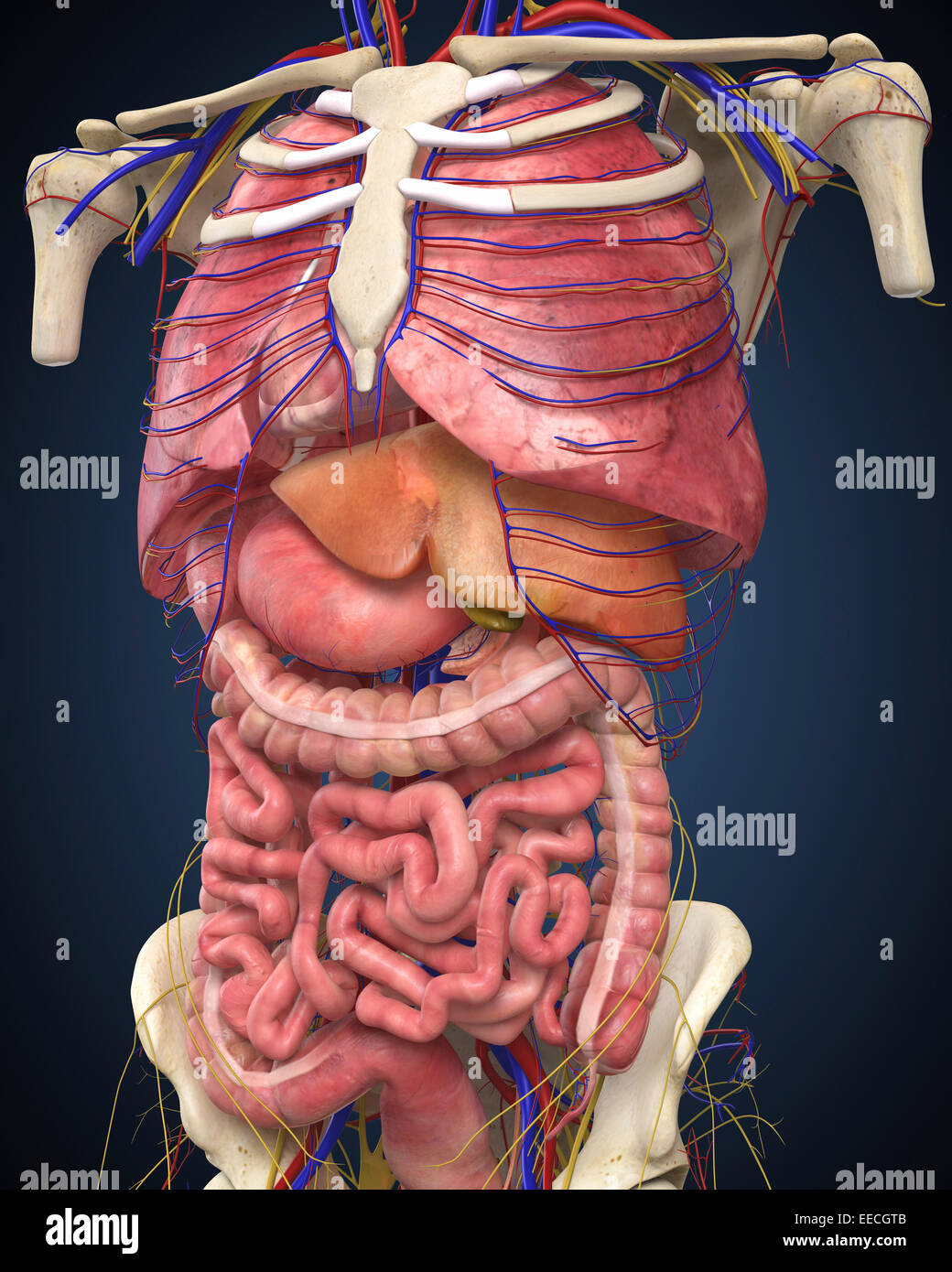 Midsection view showing internal organs of human body. Stock Photo