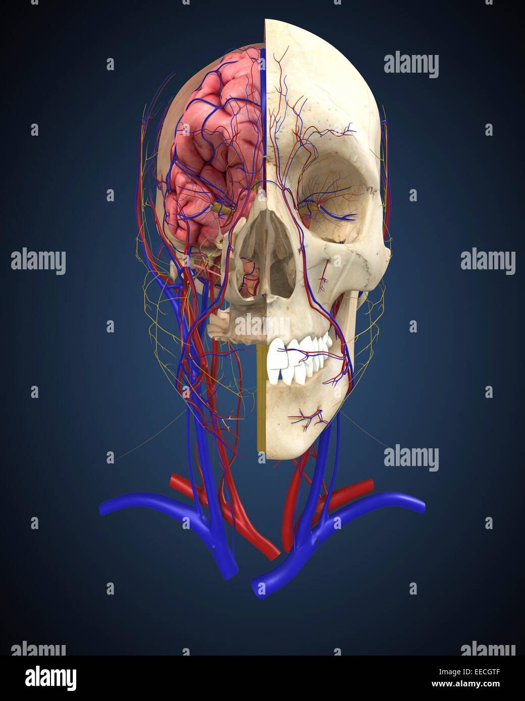 Human skull showing brain and circulatory system. - Stock Image