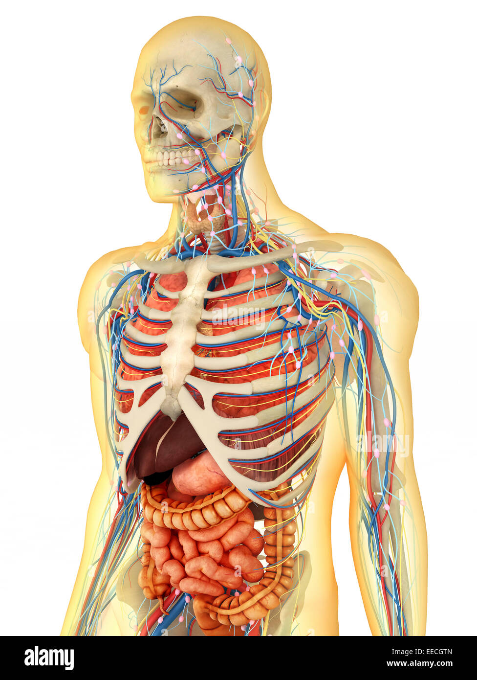 Transparent human body with internal organs, nervous system Stock ...