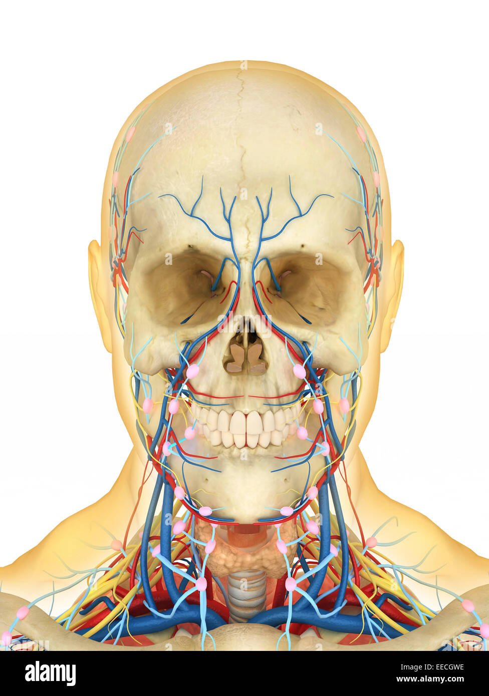 Human face and neck area with internal throat parts, nervous system ...