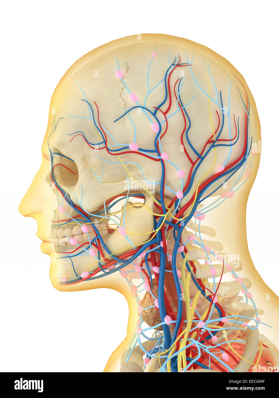 Neck Blood Vessels Stock Photos Neck Blood Vessels Stock Images