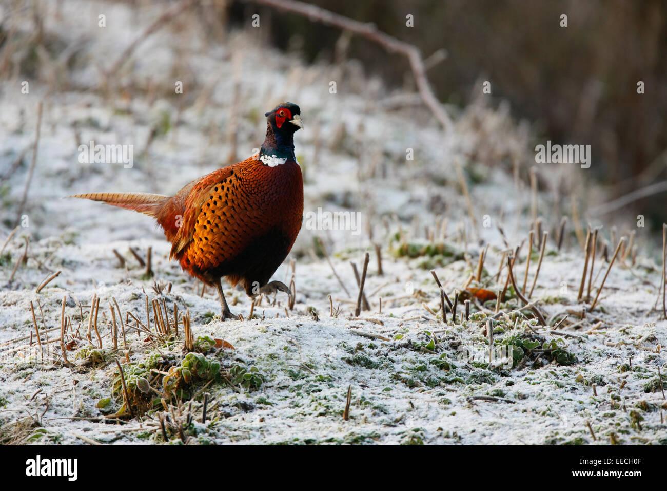 Pheasant - Stock Image