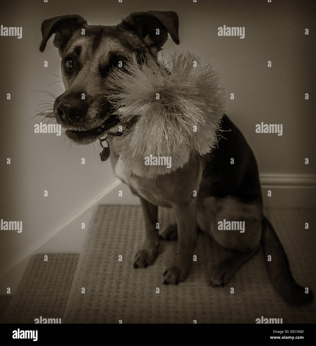 Dog helping to dust the dog hairs - Stock Image