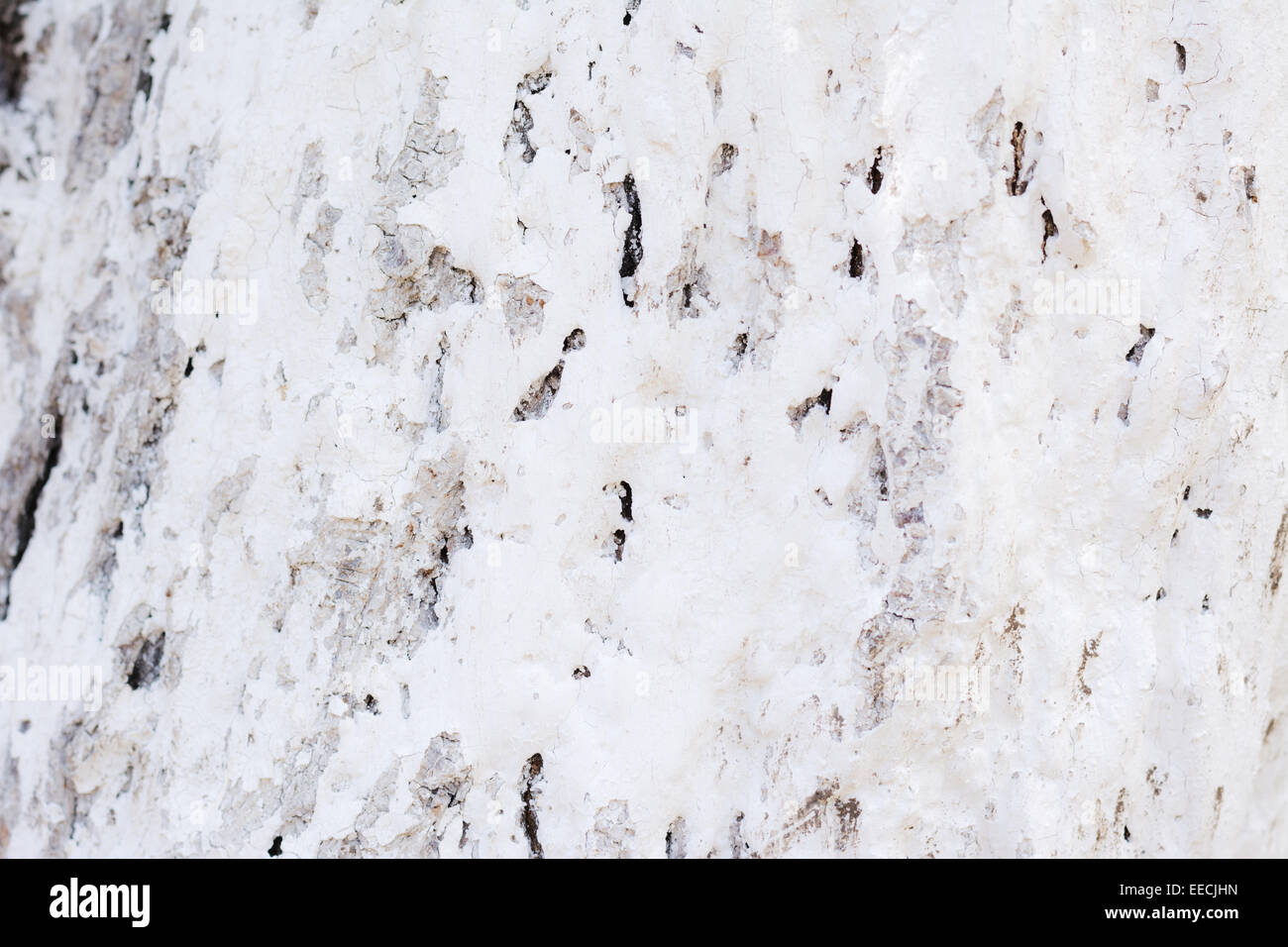 The bark of the white color in sunny weather - Stock Image