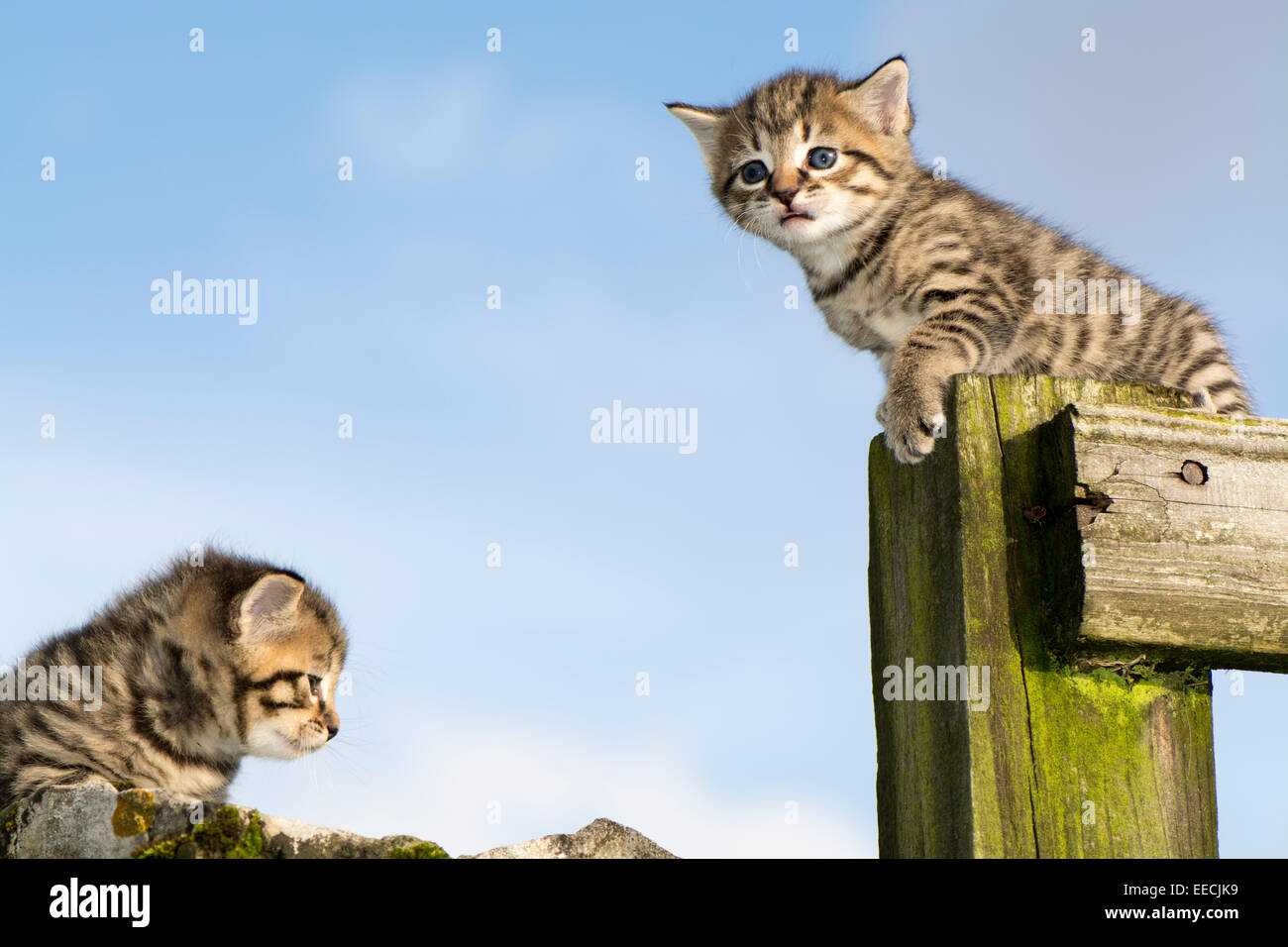 Pair of tabby kittens playing outside, UK - Stock Image