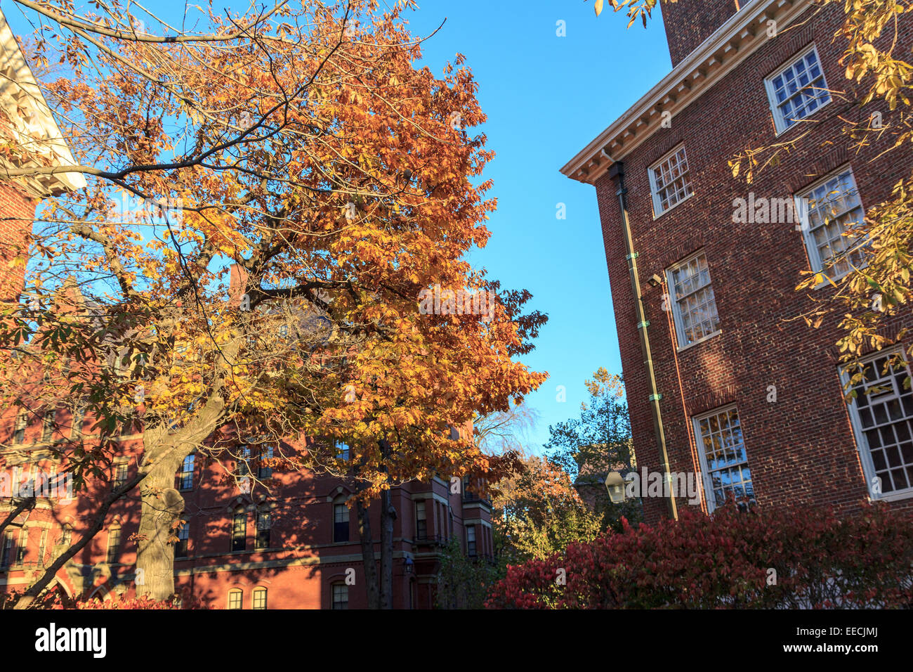 Colorful fall foliage and historic dorm buildings on the campus of Harvard University in Cambridge, MA, USA. - Stock Image