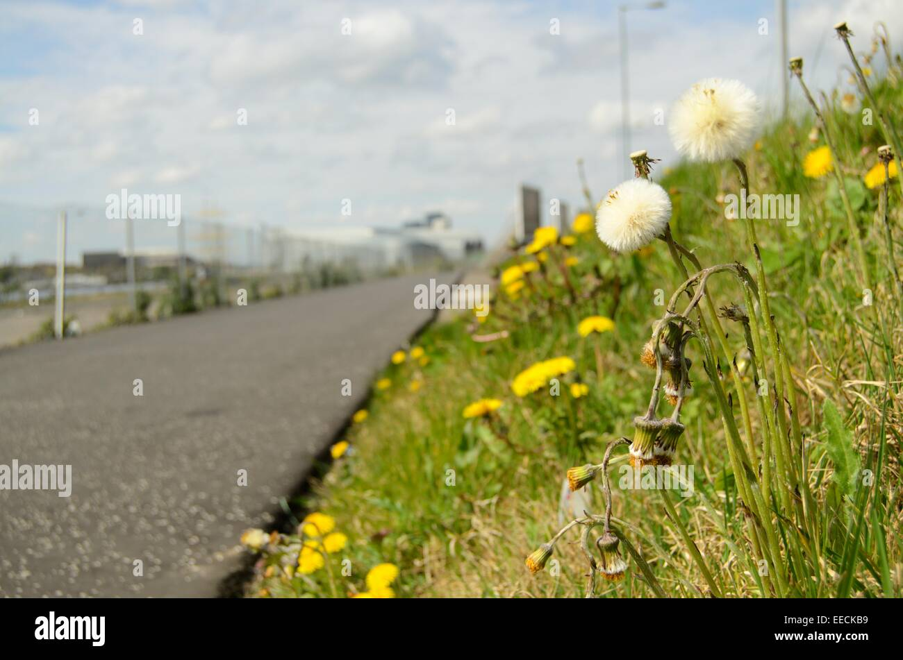Dandelions on grass verge below the Clydeside expressway in Partick in Glasgow, Scotland - Stock Image