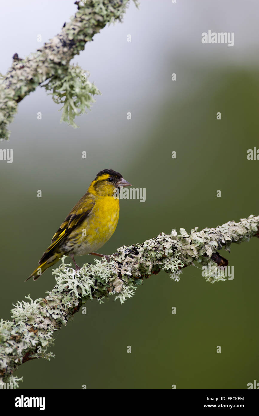 Siskin Perched - Stock Image