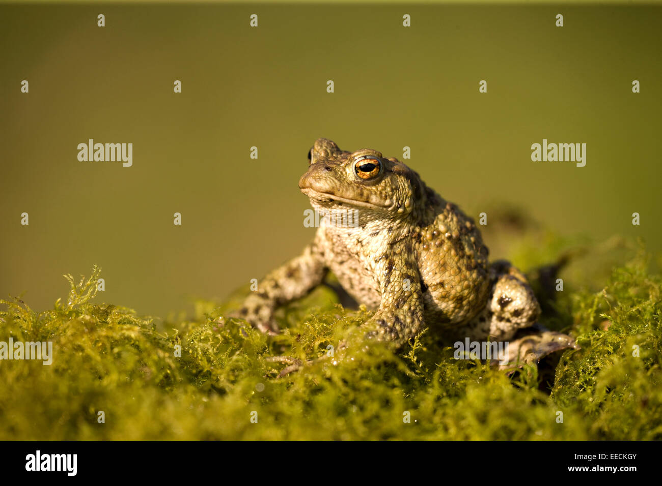 Common Toad sunning it self - Stock Image