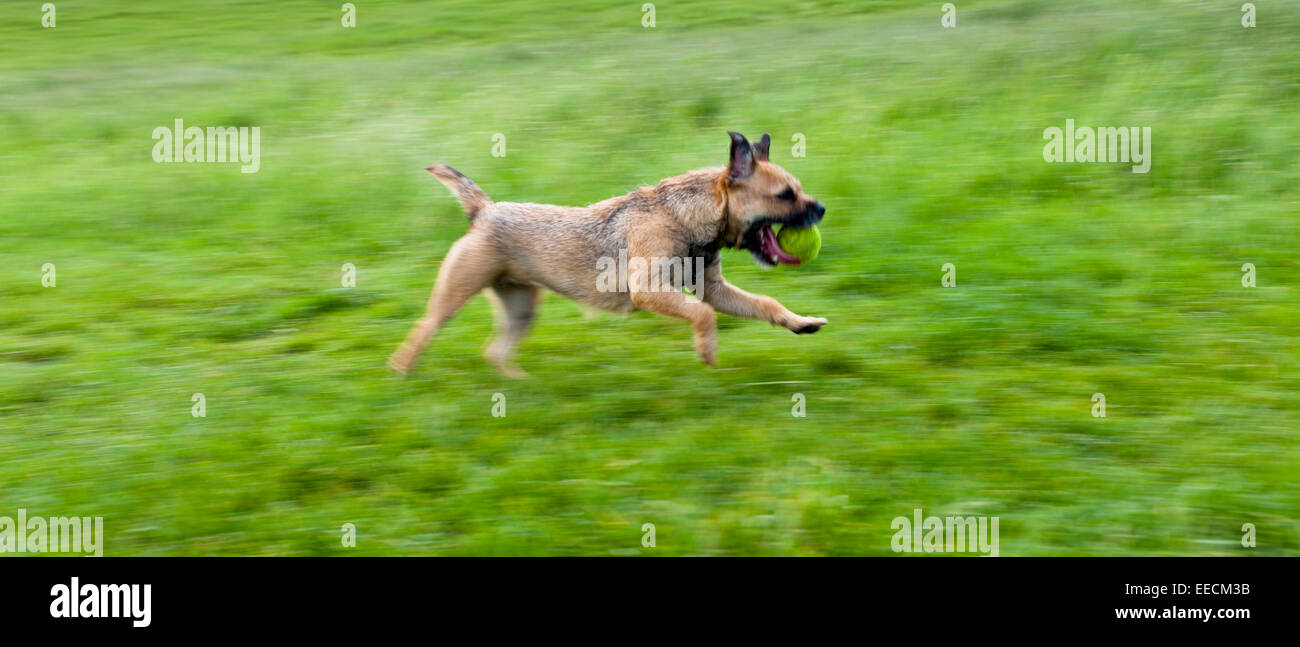 Border Terrier Dog Running Away With Tennis Ball In The United Stock
