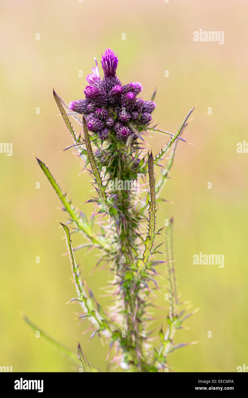 Perennial wildflower prickly thistle in bud with flower emerging during early summer in Gloucestershire, UK - Stock Image