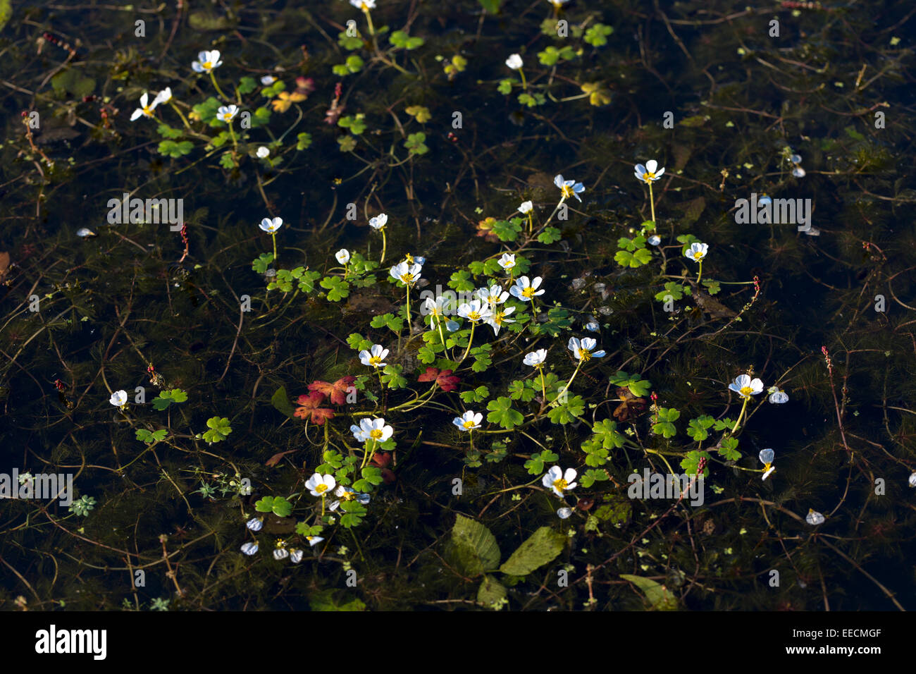 Perennial herbaceous wildflowers in hedgerow in England - Stock Image