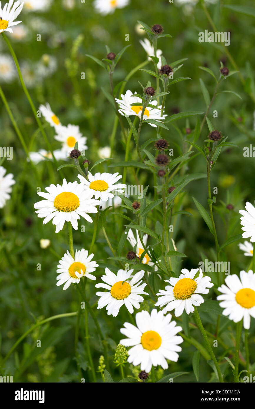 Oxeye Daisies, Leucanthemum vulgare, herbaceous perennials in wildflower meadow in the UK Stock Photo