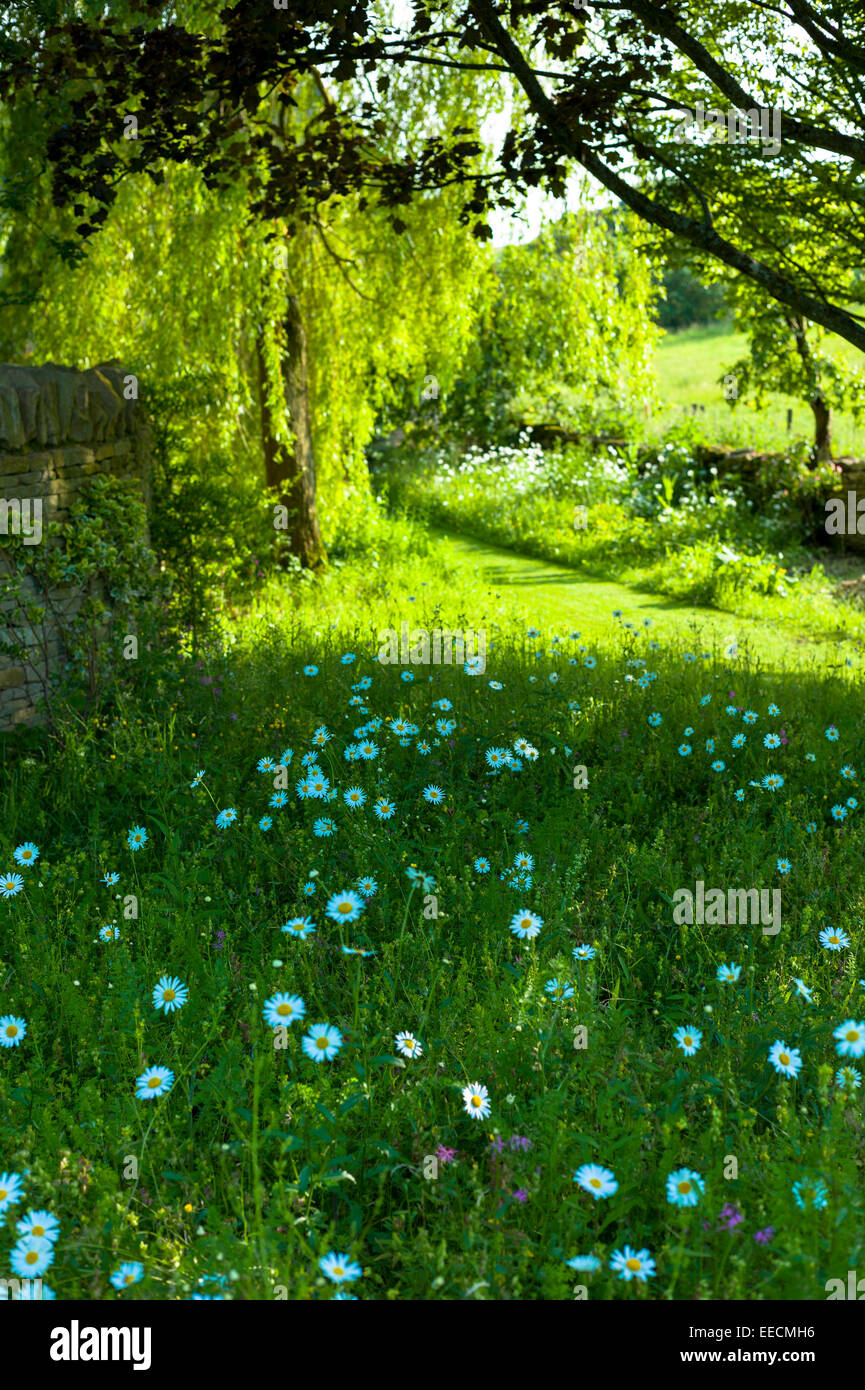 Oxeye Daisies, Leucanthemum vulgare, herbaceous perennials in country garden in the UK Stock Photo