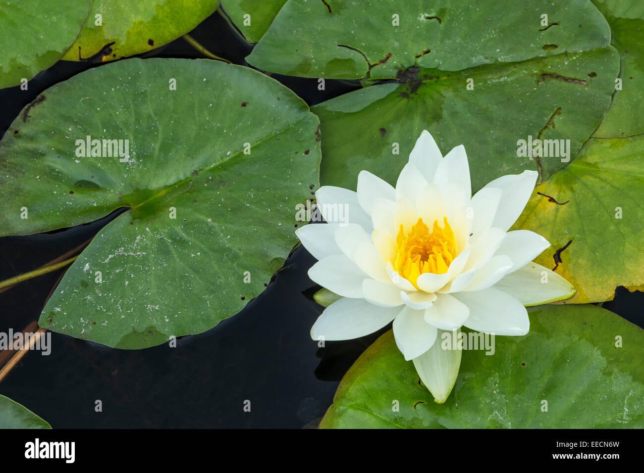 Water Lily Nymphaea Odorata Sudbury Ontario Canada Stock Photo