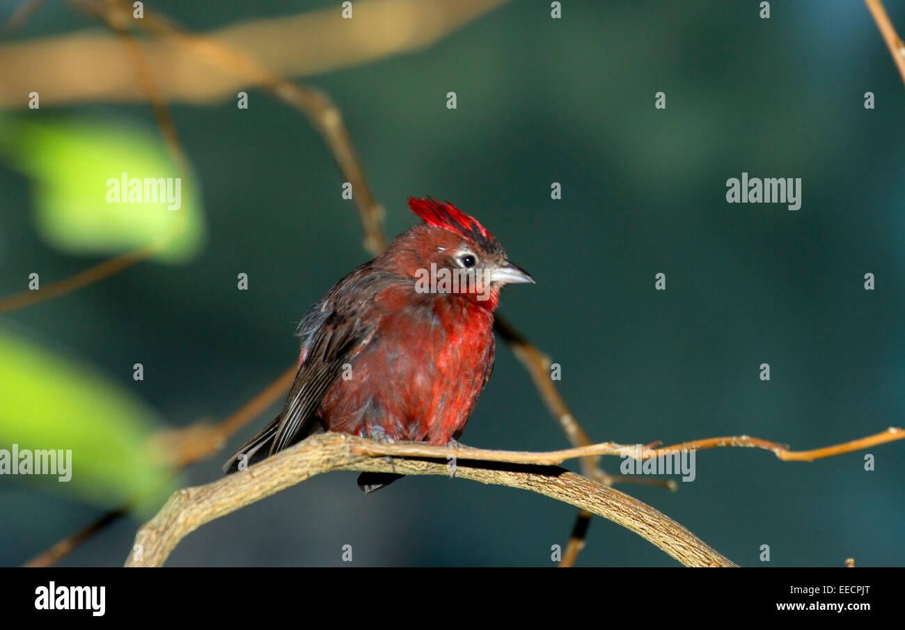 Red-crested finch, Denver Zoo, Denver, Colorado Stock Photo
