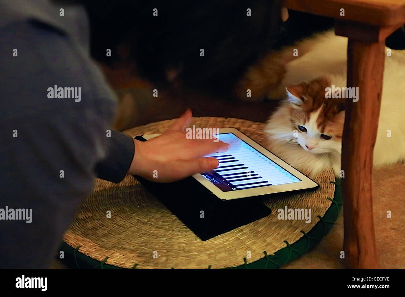 Tokyo, Japan. 15th January, 2015. A customer plays with a cat at the 'Temari No Uchi' Cat Cafe in Tokyo, - Stock Image