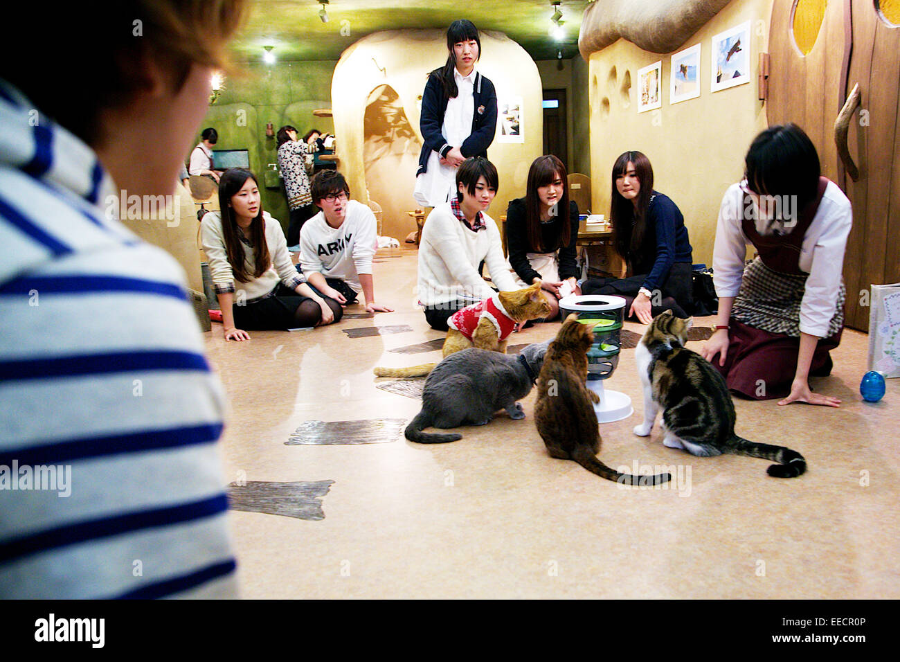Tokyo, Japan. 15th January, 2015. Customers enjoy relaxing with cats at the 'Temari No Uchi' Cat Cafe in - Stock Image