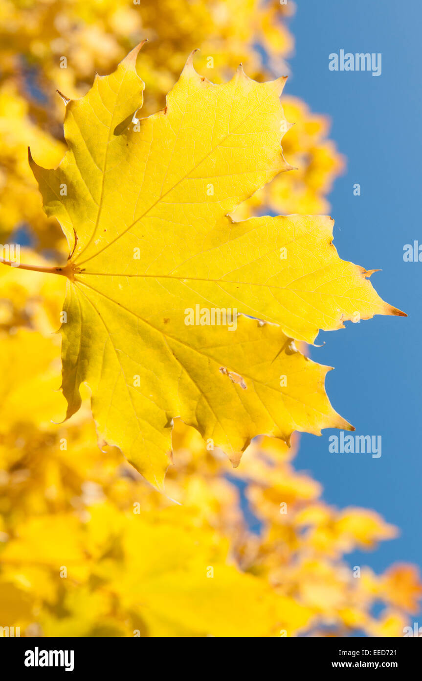 Close up of golden autumn leaves against a blue sky. - Stock Image