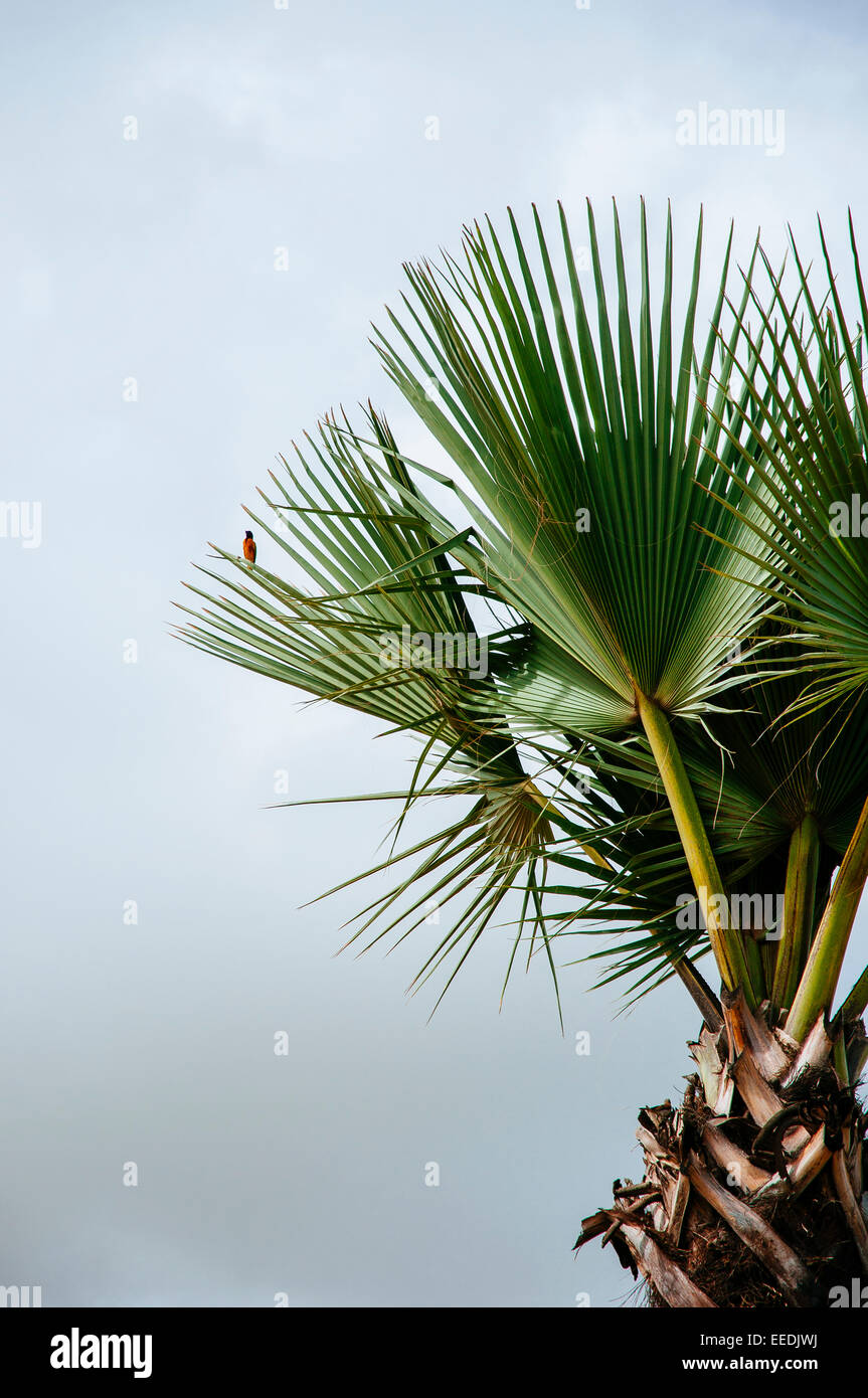 A bird sits on a palm leaf, Senegal - Stock Image