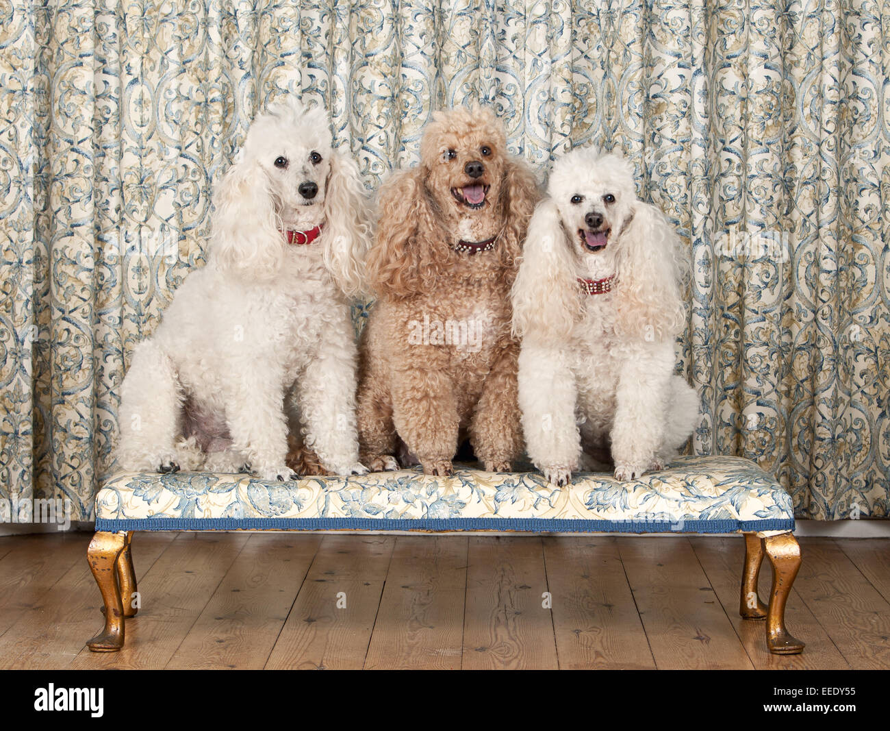 Shot of Three Miniature Poodles on Bench - Stock Image