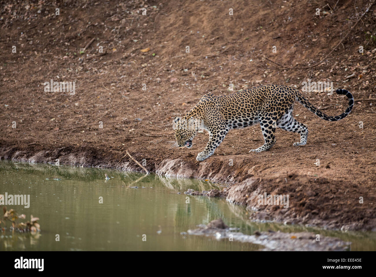 A leopard snarls at its own reflection as it approaches a water hole to drink during the dry season at Yala NP, - Stock Image