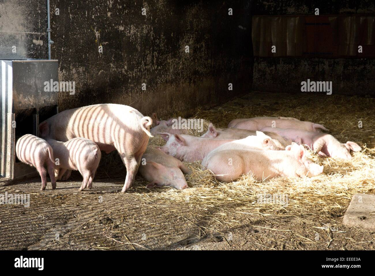 Pigs in an open-air stable, Winnenden, Germany, Jan. 1, 2015. Stock Photo