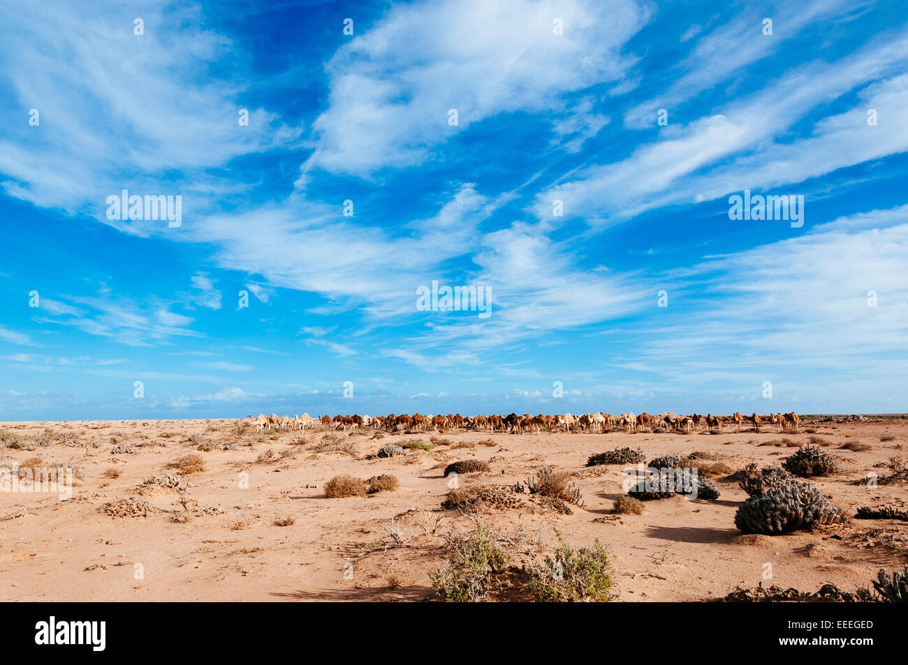 Camels on the hamada desert, Western Sahara, Morocco. - Stock Image