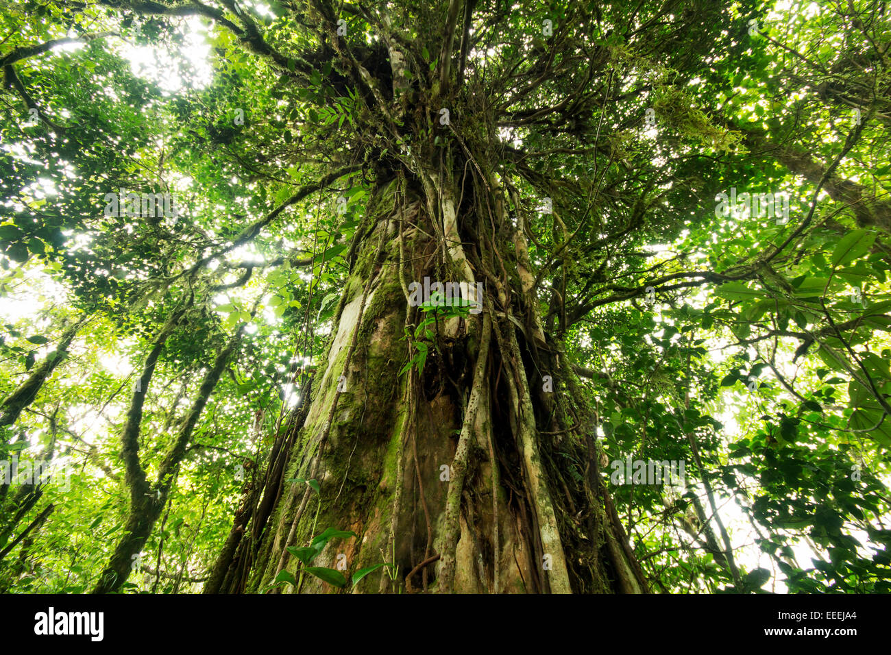 Beautiful big old tree with vines growing on it from the jungles of Costa Rica - Stock Image