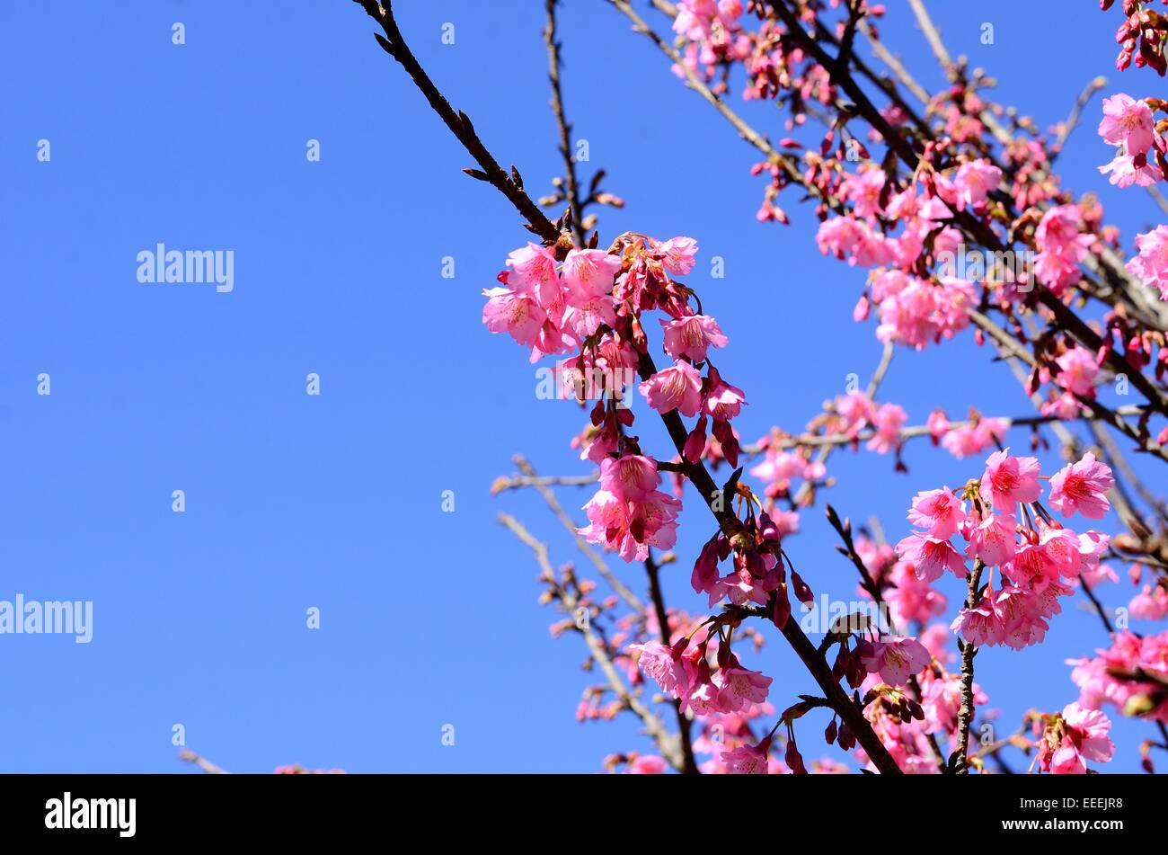 beautiful Wild Himalayan Cherry flower (Prunus cerasoides) at Thai flower garden - Stock Image