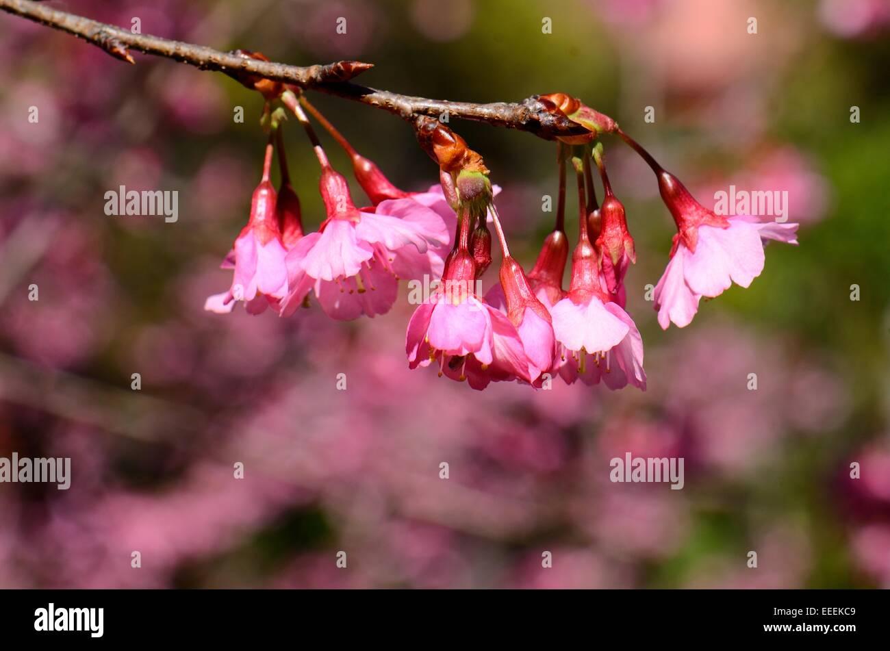 beautiful Wild Himalayan Cherry flower (Prunus cerasoides) at Thai flower garden - Stock Image